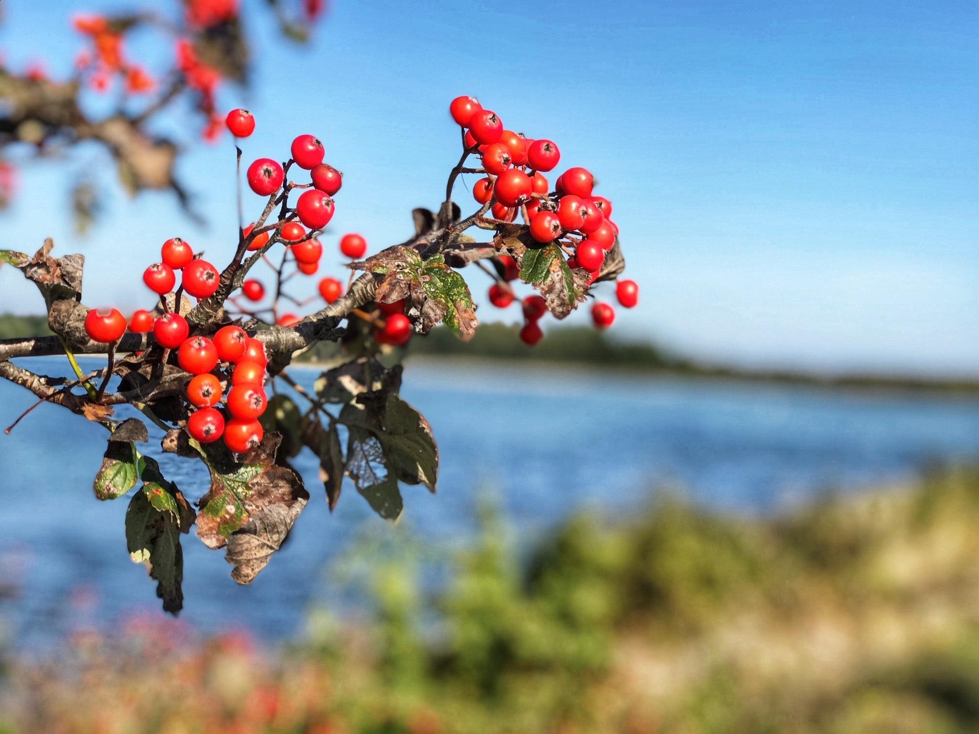 Rönnbär mot havsvik. Brittsommardag.